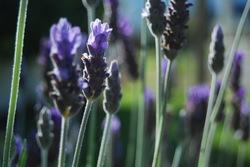 Greyton lavender